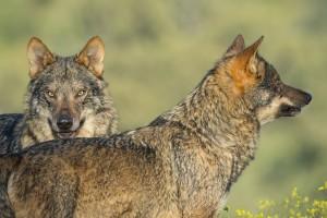 El lobo en España