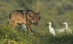 Barbacana, la huella del lobo